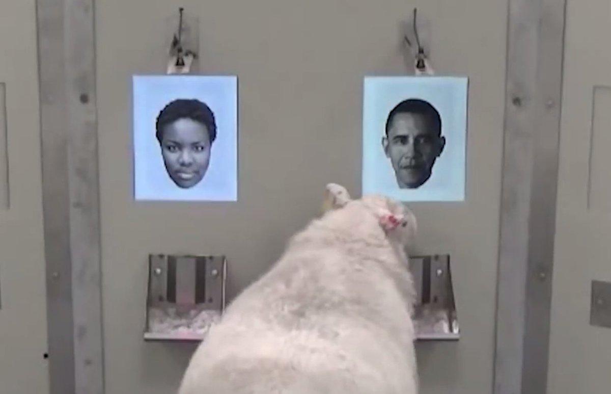 Même une chèvre peut reconnaître #BarackObama ! #VIDEO ➡️https://t.co/IZBxISDO93 #insolite