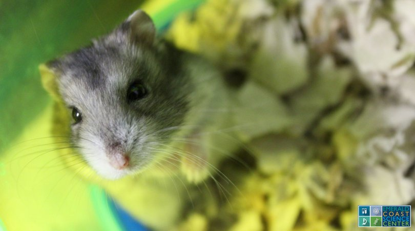 Archytas, our Roborovski Hamster, is ready for the weekend to be over so he can see visitors again! #ScienceSunday <br>http://pic.twitter.com/YyOHAHIQOy
