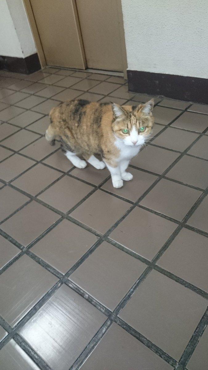 猫を探しています。 2017年11月5日頃、東京都杉並区でいなくなりました。 三毛猫のメス。やや小型…