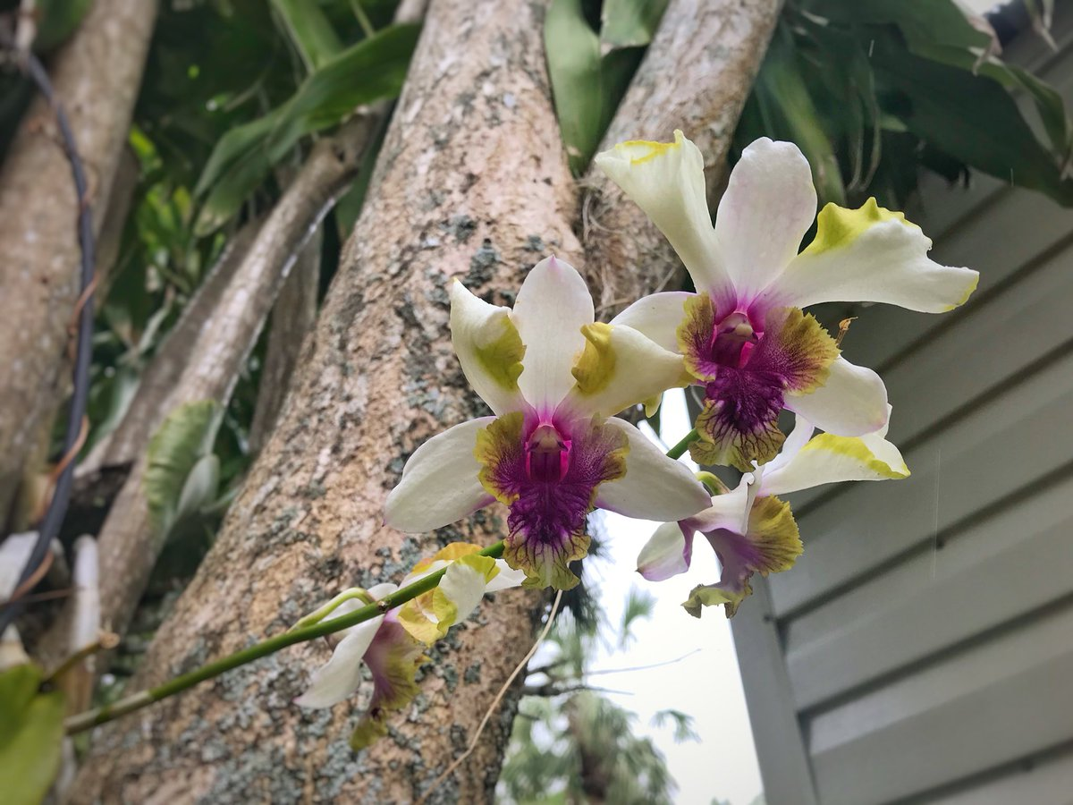 One of my favorite dendrobium orchids of all time. One spike ending, one going strong, and another on the way. #dendrobium #orchid #flower<br>http://pic.twitter.com/MjOTz9wwuR