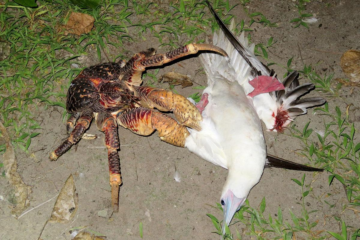 For the first time, a giant coconut crab has been seen stalking, killing and devouring a seabird https://t.co/beCiJicrO9