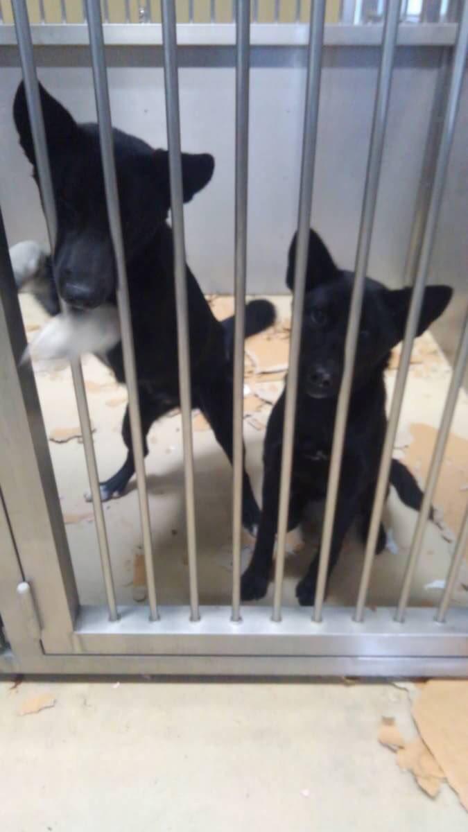 助けてください! ボランティアさんからの情報です。 香川県中讃保健所に野良犬として収容されている兄弟…