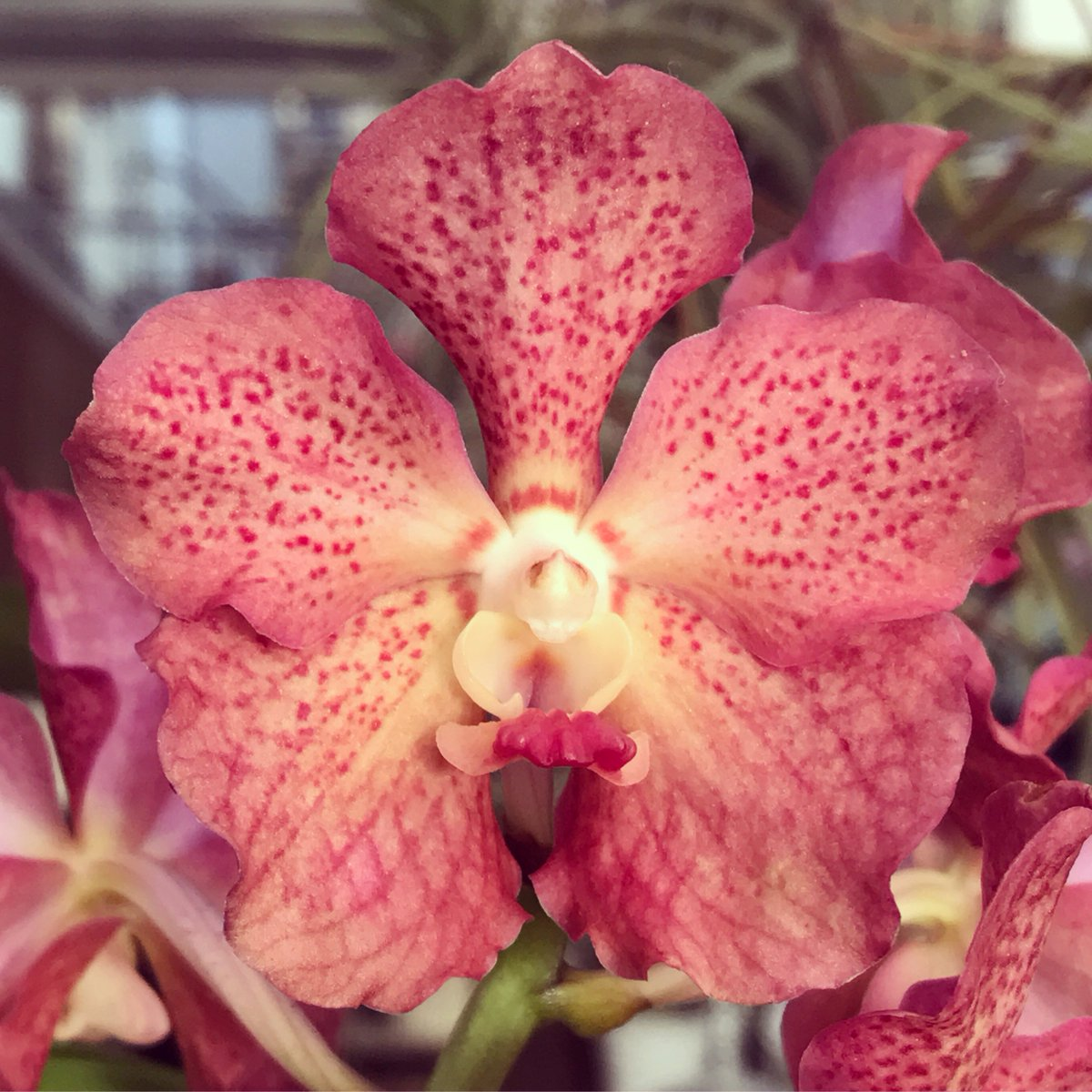 We  the long-lasting blooms of Ascocenda Betty May Steele 'Carmela' #orchid #epiphyte #asheville #apptropicals #flowers<br>http://pic.twitter.com/PmFOAeEPUM