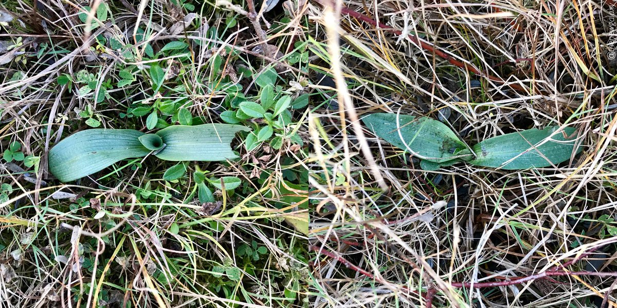 12/11/17 It's November and you can already search for bee #orchids! A feature of the Ophrys genus is the winter rosette of attractively veined leaves which tend to appear from October onwards. Ophrys tends to favour short turf which makes finding them a touch easier! <br>http://pic.twitter.com/xER9WPKYuI