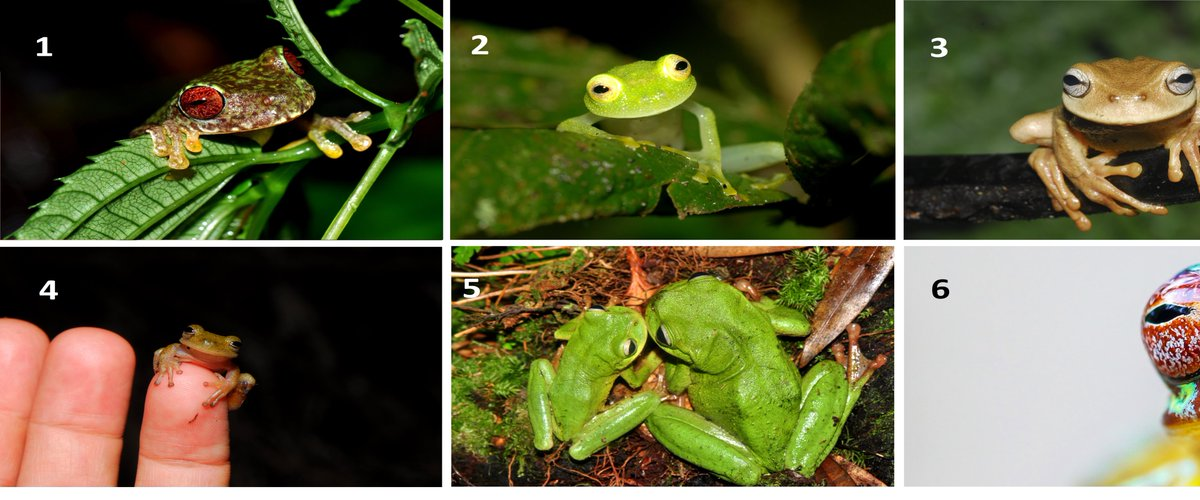 Hi Everyone! As many of you requested, we just decided to offer some @HondurasARCC calendars &amp; we&#39;d love your help to decide which photo should be on the cover.  Just respond with the number of your favorite photo!  And please share! #frog #sciart #MondayMotivaton<br>http://pic.twitter.com/kicdRPdH5p