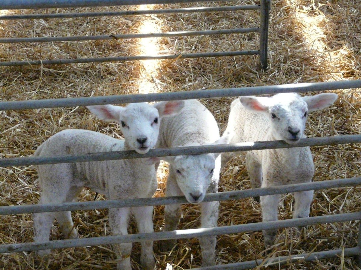 Artificial rearing guidelines: Lambs should be weaned abruptly to avoid potential digestive upsets at approximately five weeks! #Lambing17 <br>http://pic.twitter.com/rOrPgJZOif