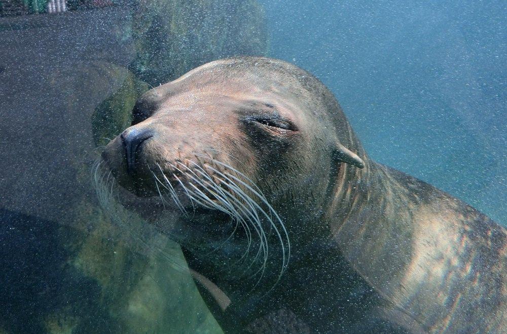 おはようございます。上野動物園です。 寝てません。起きてます。 #カリフォルニアアシカ