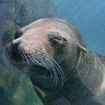 おはようございます。上野動物園です。寝てません。起きてます。#カリフォルニアアシカ pic.twit…