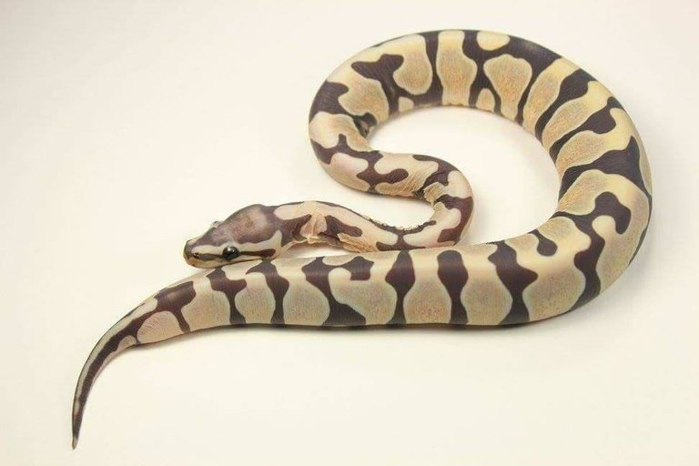Scaleless Female Ball Python by Morph Graphics Reptiles, Inquire #pythons #reptiles #pets #morph #pet #herp #morphs  https://www. morphmarket.com/us/c/reptiles/ pythons/ball-pythons/100668?utm_source=twitter&amp;utm_medium=post&amp;utm_content=100668&amp;utm_campaign=twitter-featured-ad &nbsp; … <br>http://pic.twitter.com/59uOqqWR0y