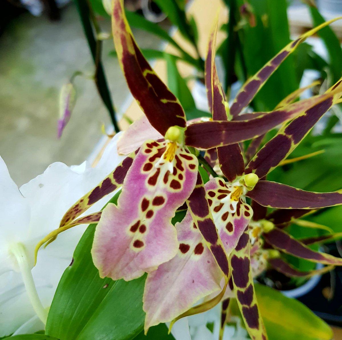 #Brassia Tolkien #Orchid <br>http://pic.twitter.com/1CV6eVvfmh