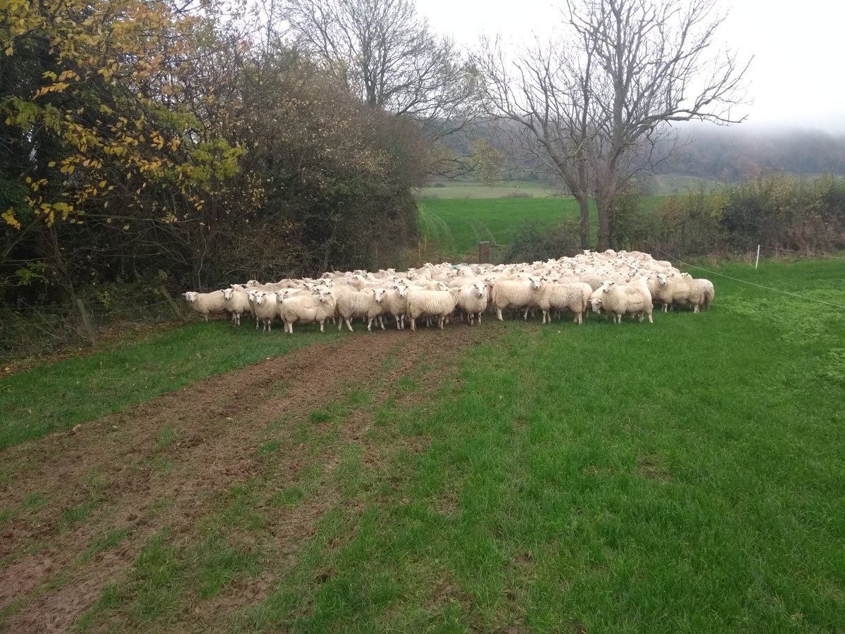 Welsh mountain sheep. Will squeeze through 6&quot; square gaps, swim rivers and jump ravines to escape.  Won&#39;t go through a gate if it&#39;s a bit muddy #sheep365 #TackSheep #ContractShepherd<br>http://pic.twitter.com/Egj26paTZU