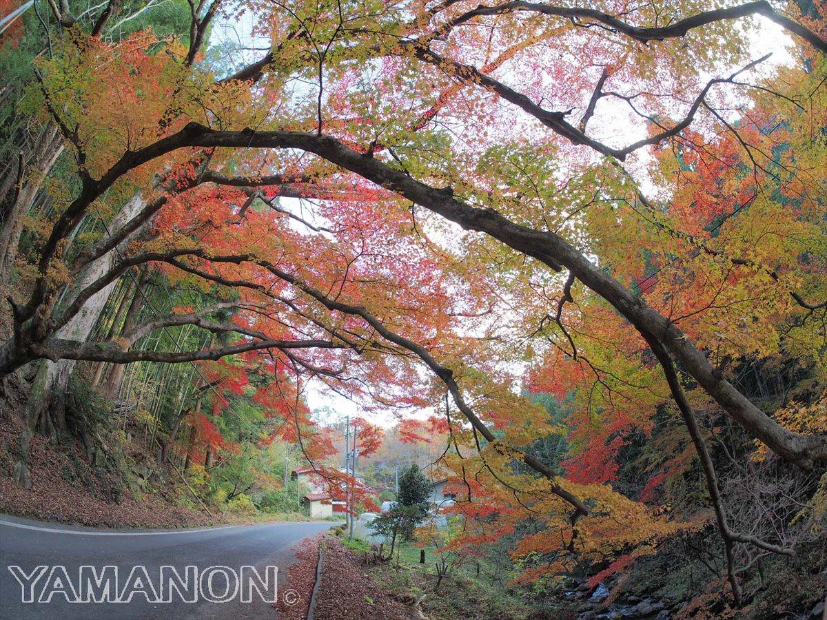 落合のオオモミジ(鮫川村.2017/11/12)