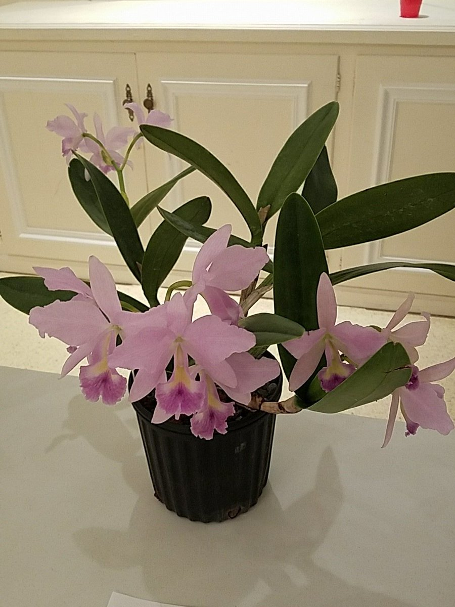 I got this Volcano queen for $20 and I can smell it 10 feet away. Yes! Some #orchids smell amazing. <br>http://pic.twitter.com/PK06503lYg
