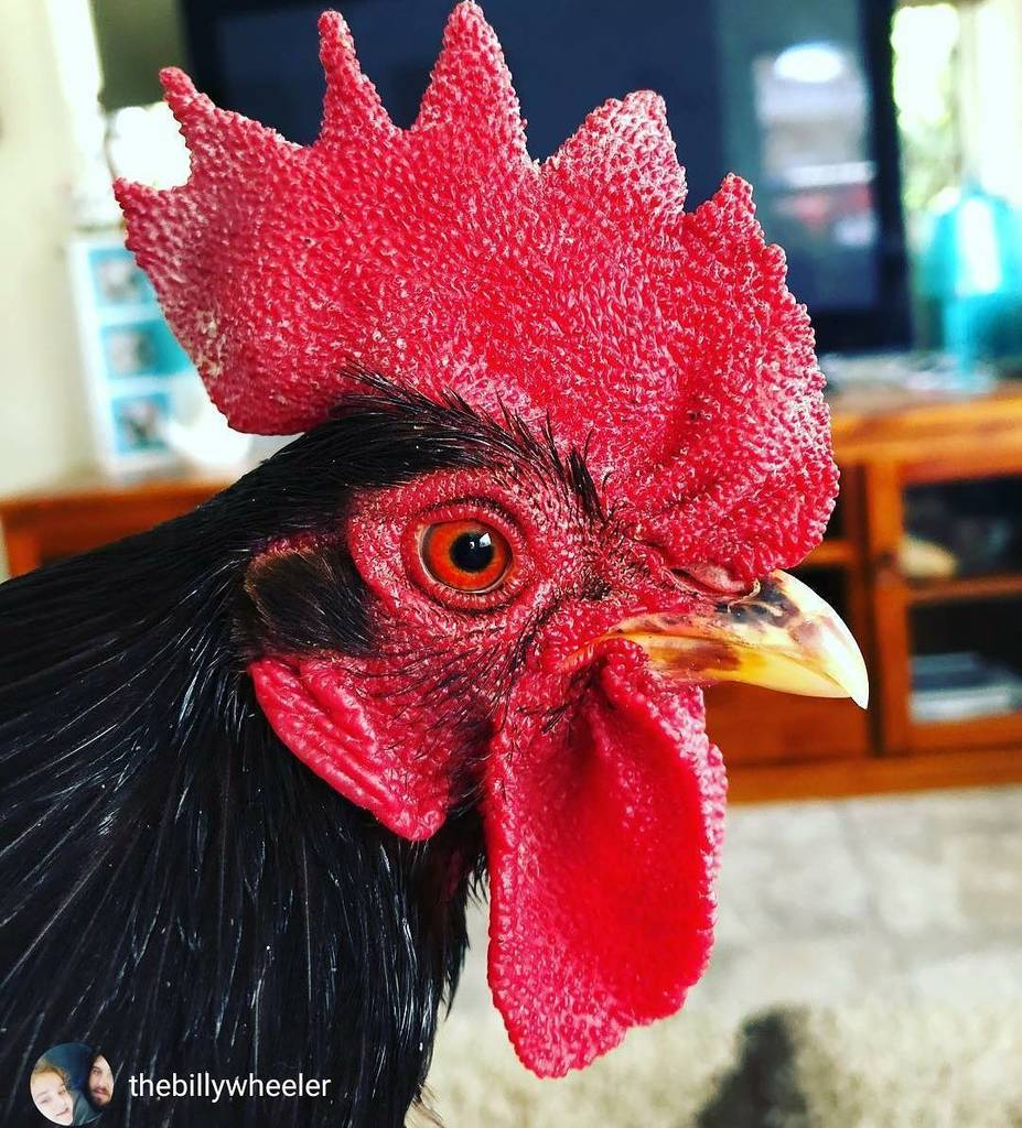 Via @thebillywheeler...&quot;The eye of the rooster. &quot; #backyardpoultrymag #roosdaytuesday #chickensofig #rooster #bac…  http:// ift.tt/2mskAgP  &nbsp;  <br>http://pic.twitter.com/cRdASe7nmH