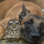 If you're having a rough day, please look at this giant dog who adopted a tiny rescue owl https://t.co/8Wvct5nHs6