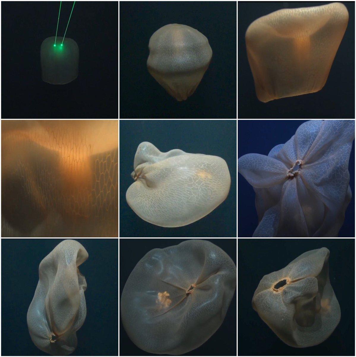 medusozoa colombia medusozoacol twitter