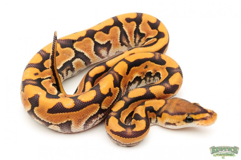 Hypo Puzzle Male Ball Python by Exotics by Nature Co., $5000 #snake #pets #reptiles #herp #reptile #morphs #pet  https://www. morphmarket.com/us/c/reptiles/ pythons/ball-pythons/105038?utm_source=twitter&amp;utm_medium=post&amp;utm_content=105038&amp;utm_campaign=twitter-featured-ad &nbsp; … <br>http://pic.twitter.com/vJxOZzaXtj