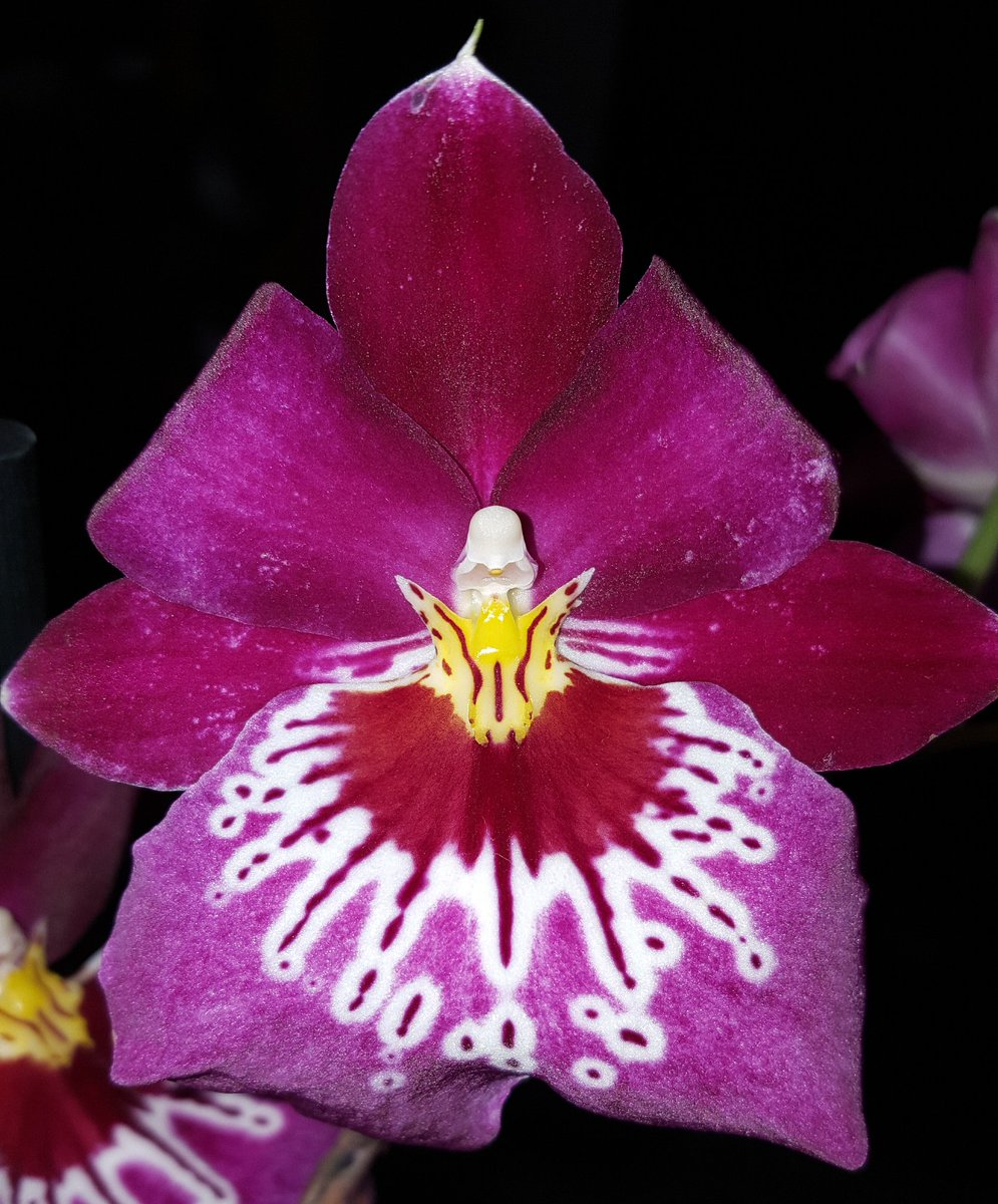 My #Miltoniopsis Newton Falls when last in bloom #Orchids <br>http://pic.twitter.com/j7A4AGlg26