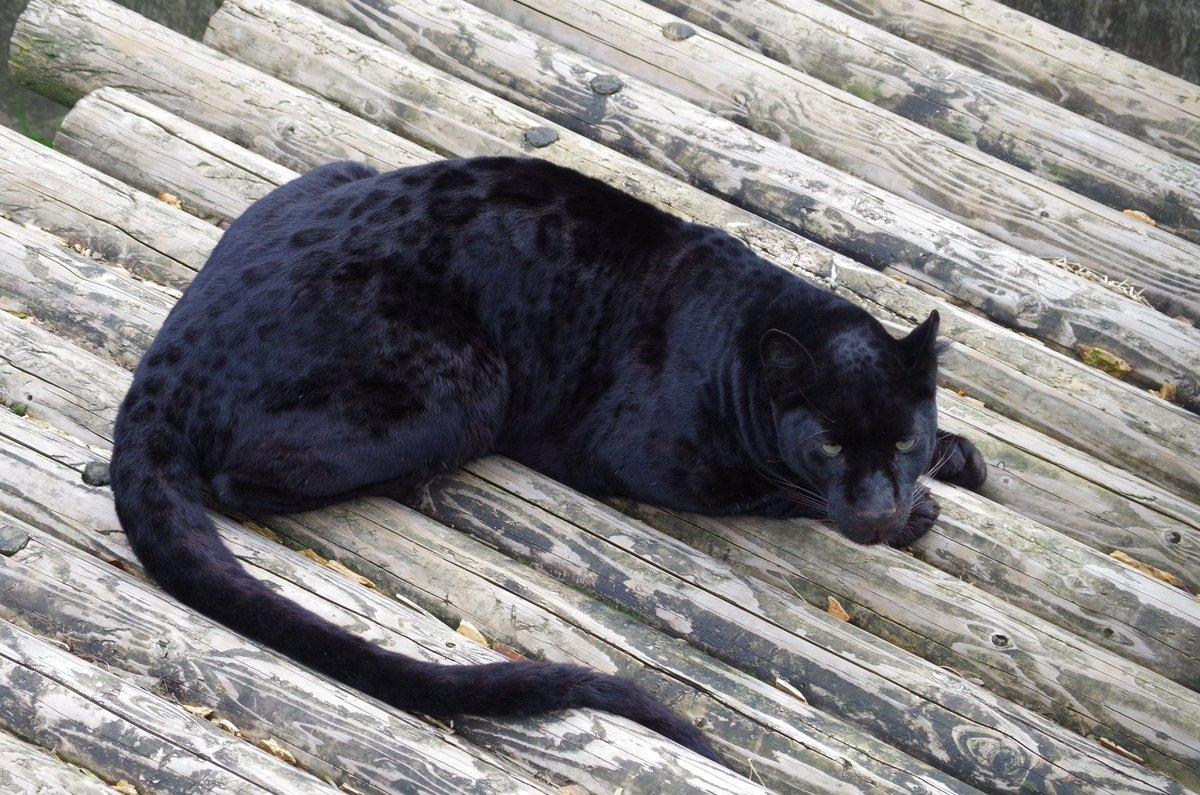 クロヒョウって真っ黒だと思っていませんか?実は光の当たり具合によって「豹柄」がクッキリと見えるんです…