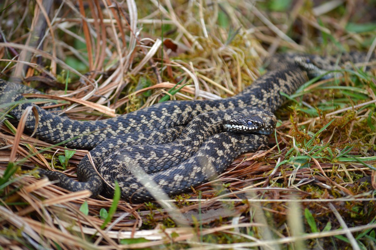 #SpoilSpeciesOfTheDay is the #Adder (Vipera berus), the UK's only venomous #snake. These secretive and well-camouflaged #reptiles thrive on our colliery sites where the black coal spoil warms up rapidly in the sun to provide ideal basking areas. <br>http://pic.twitter.com/ooN9JqtWqn