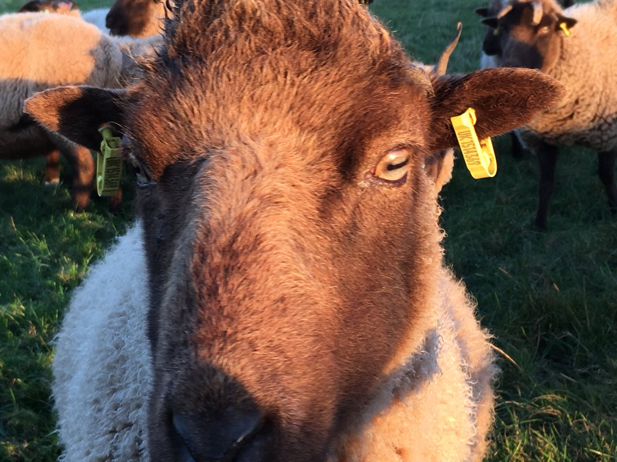 Polly, my Peter Pan of ewes, aged about 12 but still in fantastic shape. I adore this this old girl #manxloaghtan #sheep365 #isleofman<br>http://pic.twitter.com/N93LYer9UD