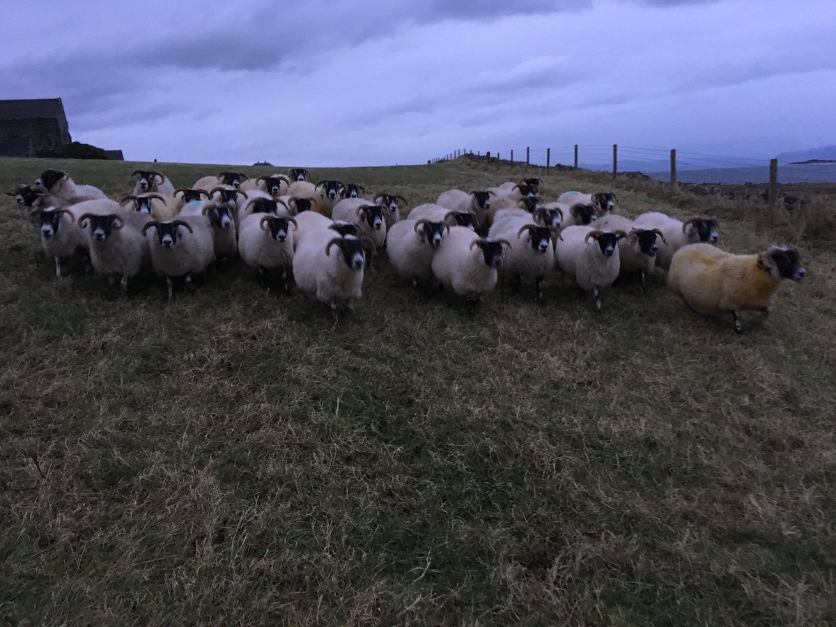 Giving the ewes a wee shift. #scottishblackface #isleofiona #sheep365 <br>http://pic.twitter.com/13yaTV4RgM
