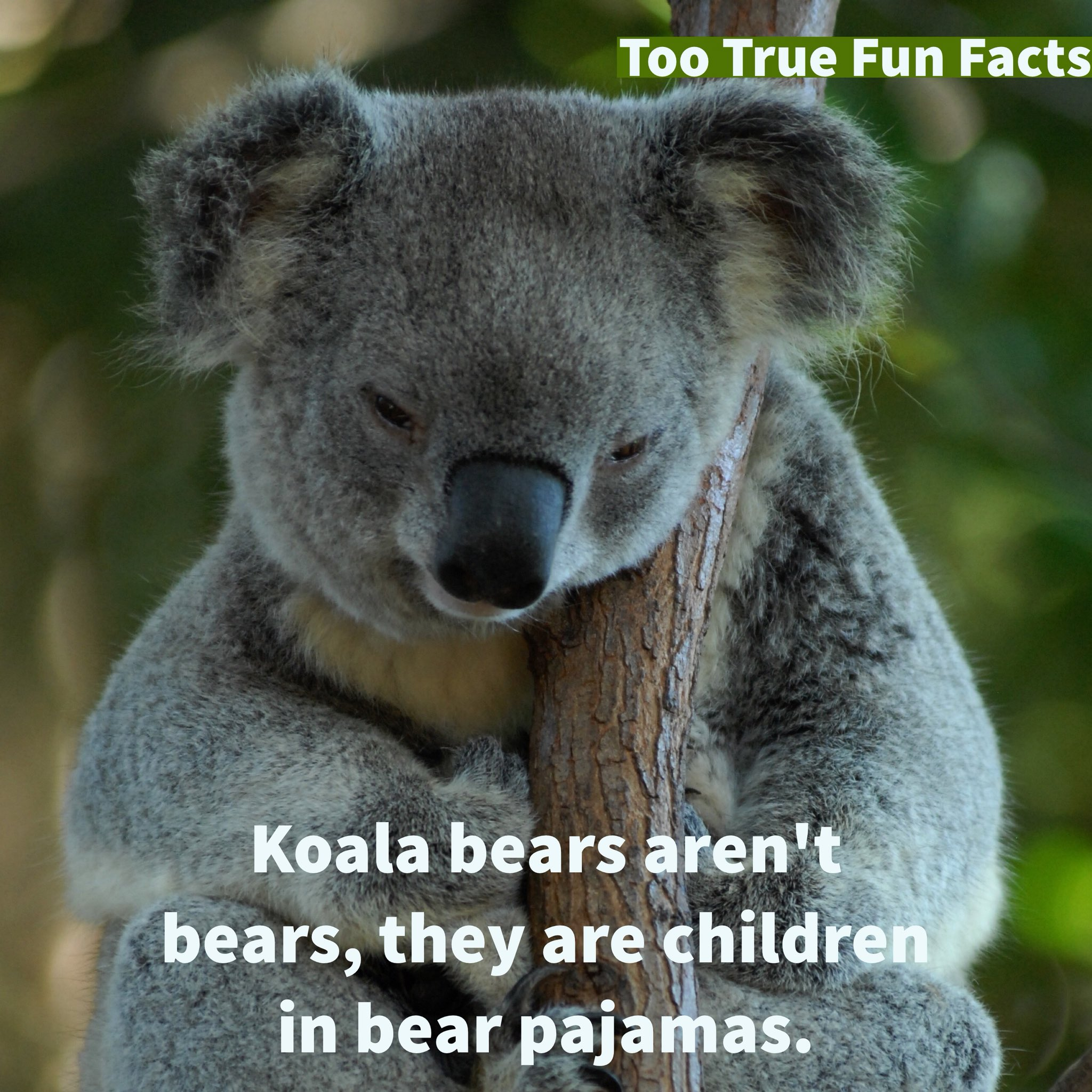"Too True Fun Facts on Twitter: ""Koala Fun Fact. #koala # ...  Funny Koala Memes"