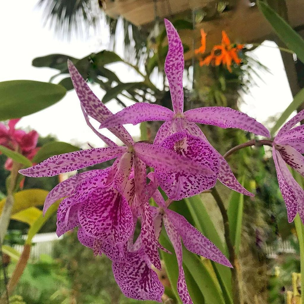 If you don't have a least a few varieties of brassolaeliocattleya Maiki in your collect, you need to get some. This is my favorite. #brassolaeliocattleya #orchid #flower  http:// ift.tt/2mslA4N  &nbsp;  <br>http://pic.twitter.com/svpy7Iu8jZ