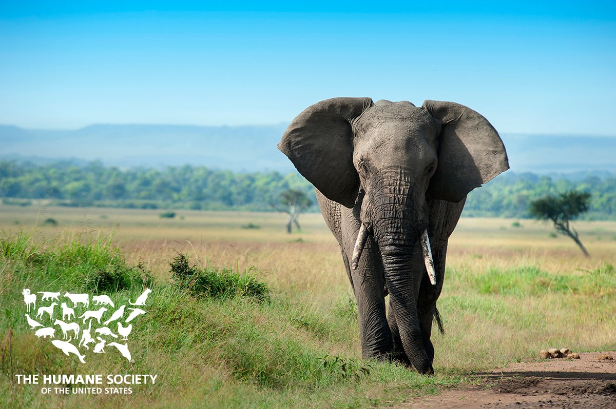 Elephants are on the list of threatened species and the U.S. government is giving American trophy hunters the green light to kill them.   http:// bit.ly/2zGcZ40  &nbsp;   #WildlifeWednesday <br>http://pic.twitter.com/DofKn3Abyo