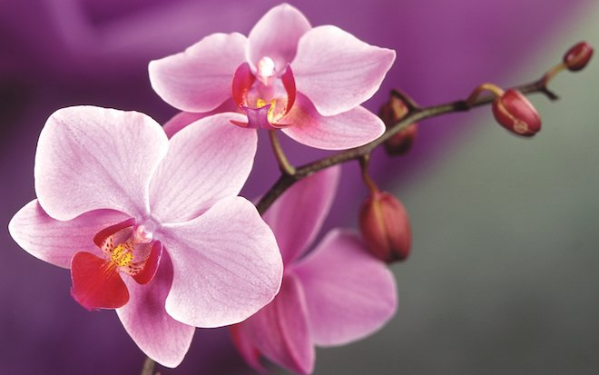 A tea made of #orchid #flowers, fresh or dried with #honey, especially pink or red, seems to help #women with menstrual problems, mild #aphrodisiac and good for #health<br>http://pic.twitter.com/POg8PaQtK0