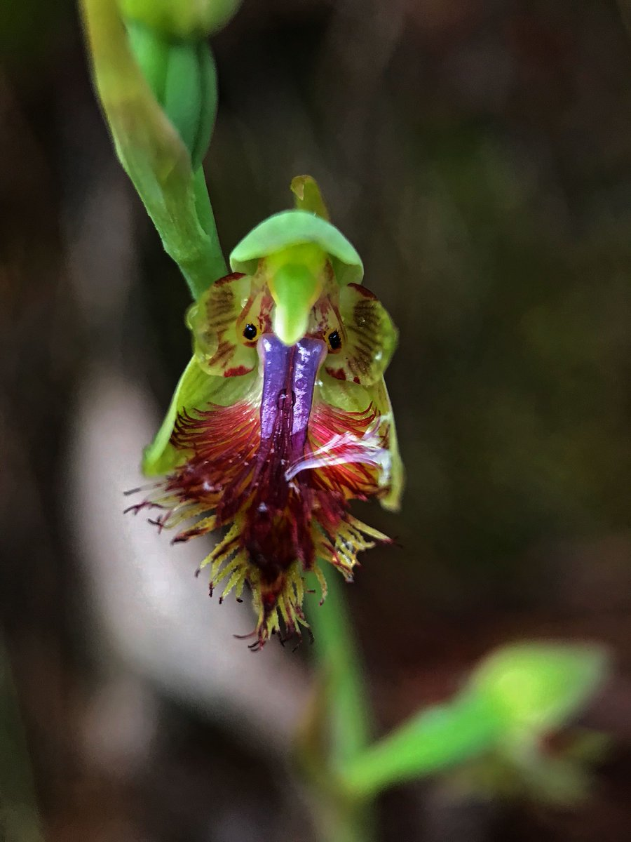RT @nano_entity: Calochilus robertsonii - the Purple Beard Orchid #orchid <br>http://pic.twitter.com/Lw81mcZjsj