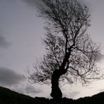 """Word of the day: """"Yggdrasil"""" - in Norse mythology, the ancient ash tree at the cosmos's centre, the branches & roots of which connect different realms & times. The 'world-tree'. (pron. IG-druh-sill)"""