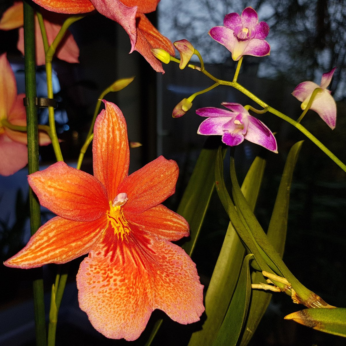 My Dendrobium Kingianum and Nelly Isler &#39;Boon&#39; with quite a size difference! #Orchids #Dendrobium #NellyIsler<br>http://pic.twitter.com/wkSPWCrgqo