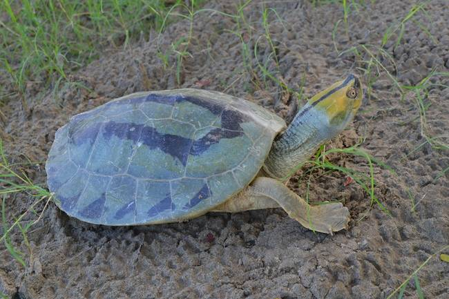 WCS Co-Authored Paper:  Conservation Genomics of the Endangered Burmese Roofed Turtle:  http:// bit.ly/2hCE3dd  &nbsp;   #BurmeseTurtle #Conservation #Burma #Turtle #Endangered #Myanmar<br>http://pic.twitter.com/L5lRvianYE
