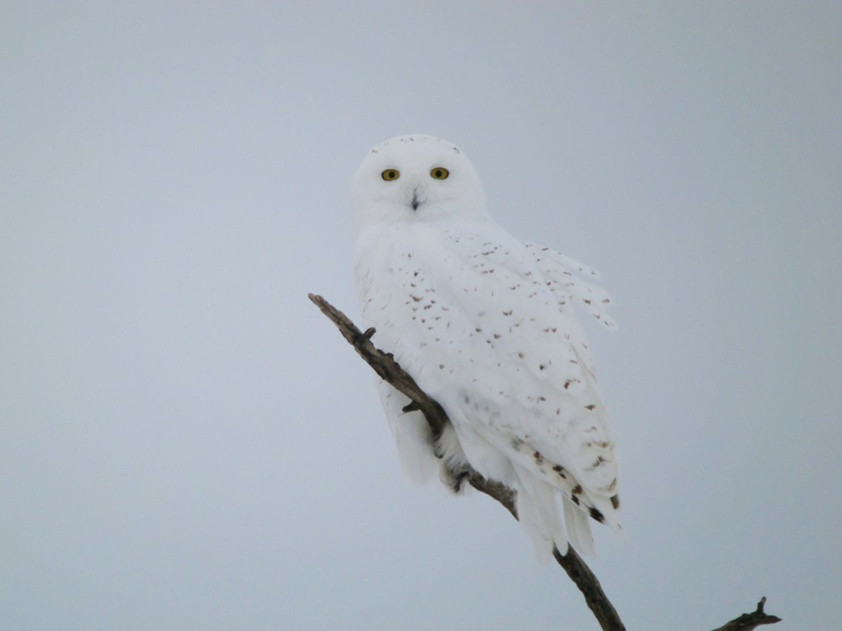 Even more Snowy Owls today. Seems to be a good arrival of these arctic owls right across northern US &amp; southern Canada right now #birds #owls #migration <br>http://pic.twitter.com/wbobyypbSY