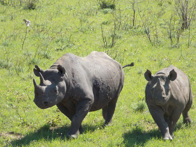@McCleeryLab PhD student Zoe published her MSc research on critically endangered black rhino reproductive success. Congrats Zoe! (Photo: Z. Nhleko)  http://www. koedoe.co.za/index.php/koed oe/article/view/1386 &nbsp; …  learn more about her PhD research on white rhinos here:  http://www. themccleerylab.org/zoe.html  &nbsp;   @UFWildlife @UFSNRE #ecology <br>http://pic.twitter.com/6UZmHqLSn4