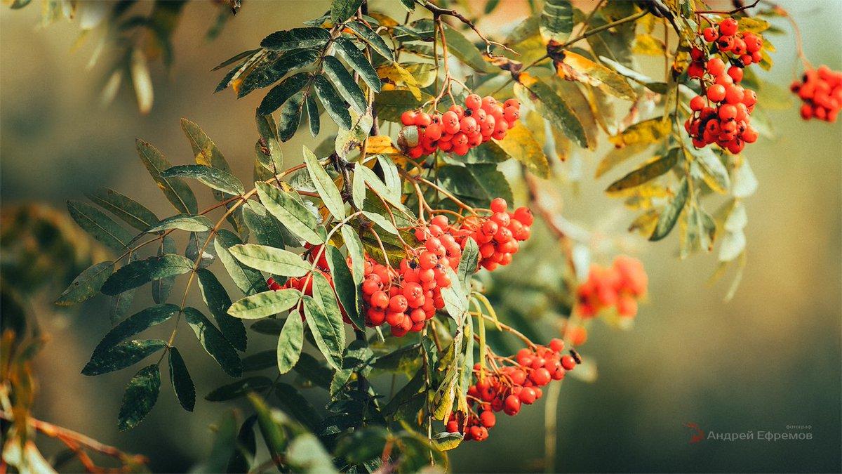 Осенняя рябина картинки на рабочий стол