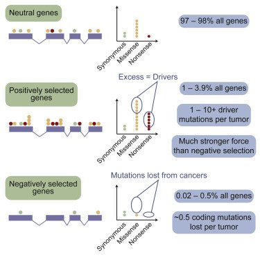Adapting an #evolutionary genomics approach to #cancer highlights a limited impact of negative selection on cancer genomes and significant variations in the proportion of coding driver #mutations per tumor among different tumor types. Free article --&gt;  http:// bit.ly/2hvgBuN  &nbsp;  <br>http://pic.twitter.com/FKWTSm2dkH