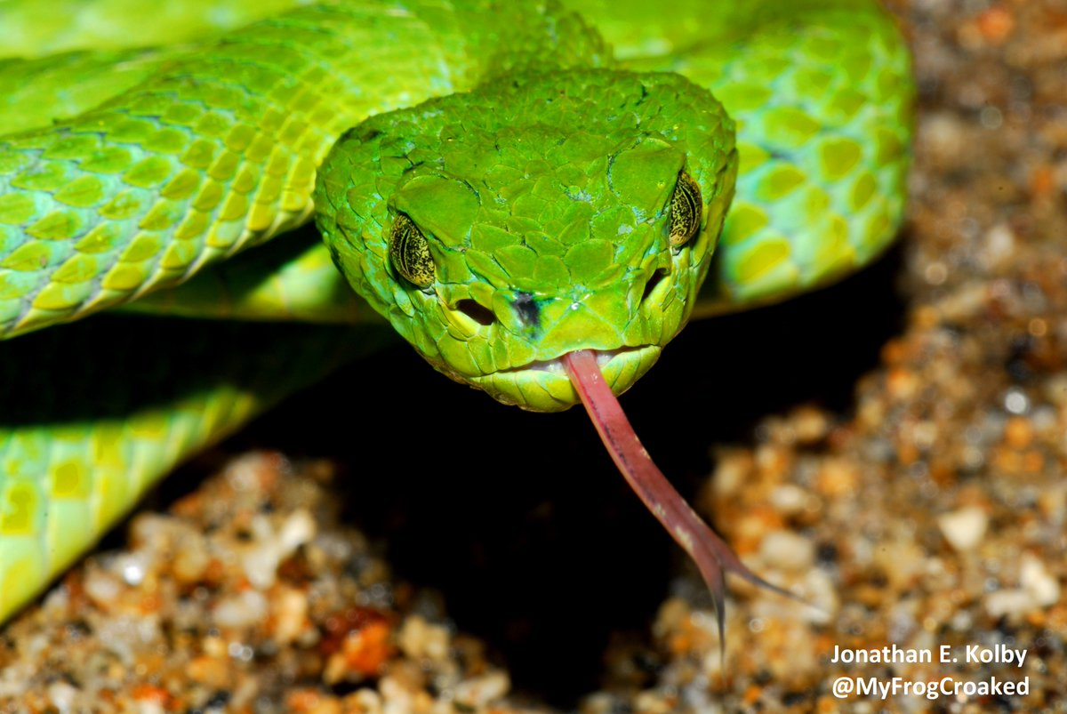 This endangered Palm Viper (Bothriechis marchi) was found at our #HARCC site in Cusuco National Park, Honduras.  It loves to eat frogs! #snakes #reptiles<br>http://pic.twitter.com/9B5CcR3egH