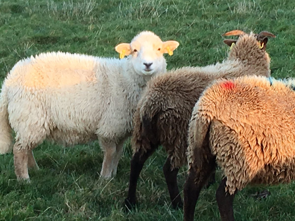 Nell playing with mates, she is becoming very fluffy - softer fleece than mum Mel #NativeBreeds #sheep365 #IsleofMan<br>http://pic.twitter.com/MocVh0kHEj