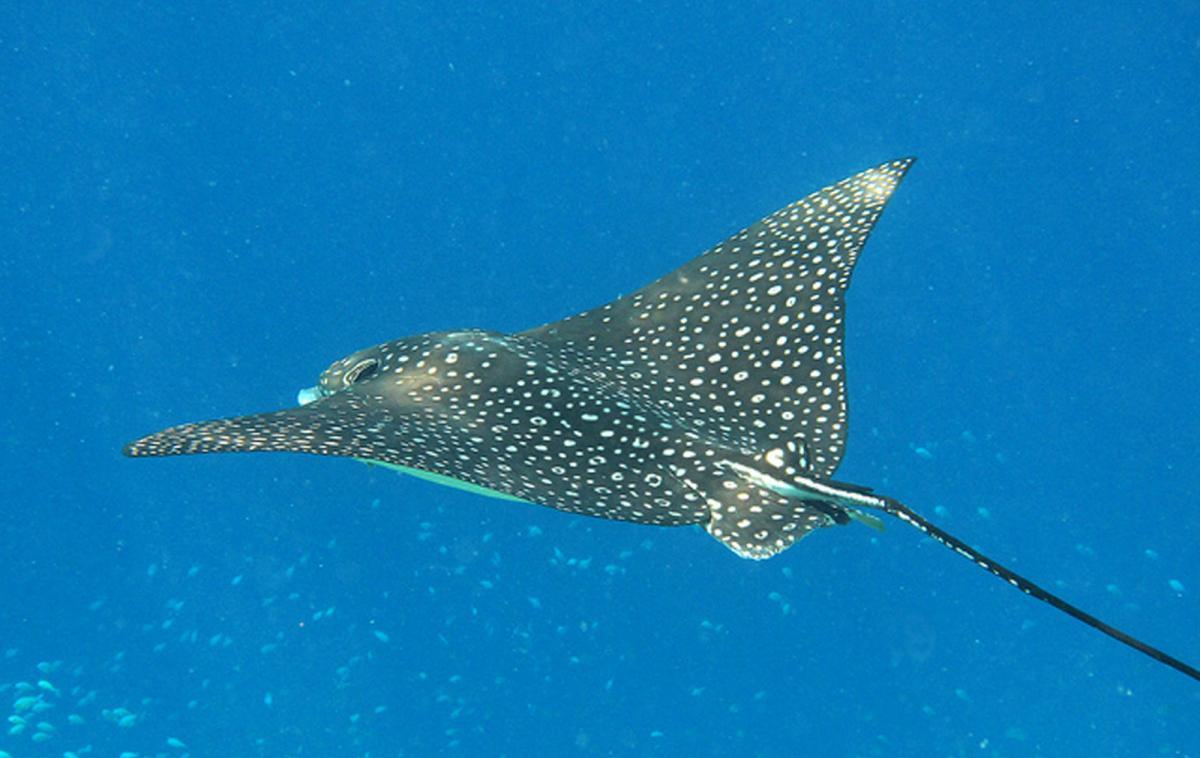 Stenapa stenapastatia twitter for Types of ray fish