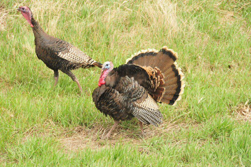 Wild fact about turkeys: Male droppings are j-shaped; female droppings are spiral-shaped. The larger the diameter, the older the bird.  http:// bit.ly/2lUZO9C  &nbsp;   #TheMoreYouKnow @USFWS<br>http://pic.twitter.com/gzLEEVzzmu