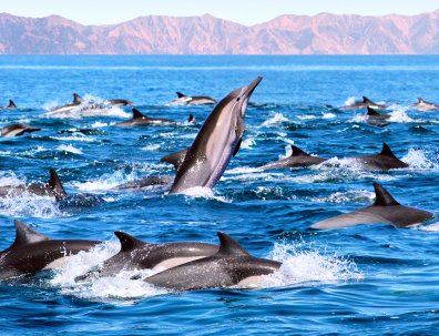 The Dolphins #escaped , three #cargo #ships disturbed the #formation by going right through it  :D Dolphins safe passing Japan today. #Boycott Japan<br>http://pic.twitter.com/H62BFr6sRF