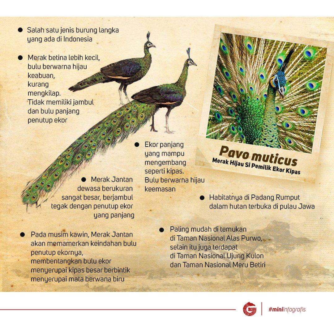 550+ Gambar Burung Merak Di Indonesia Terbaru