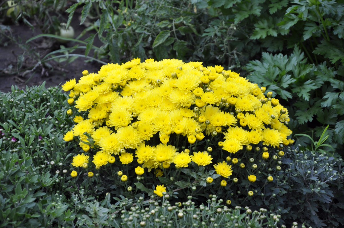 распределялись желтый цветок на даче фото фото