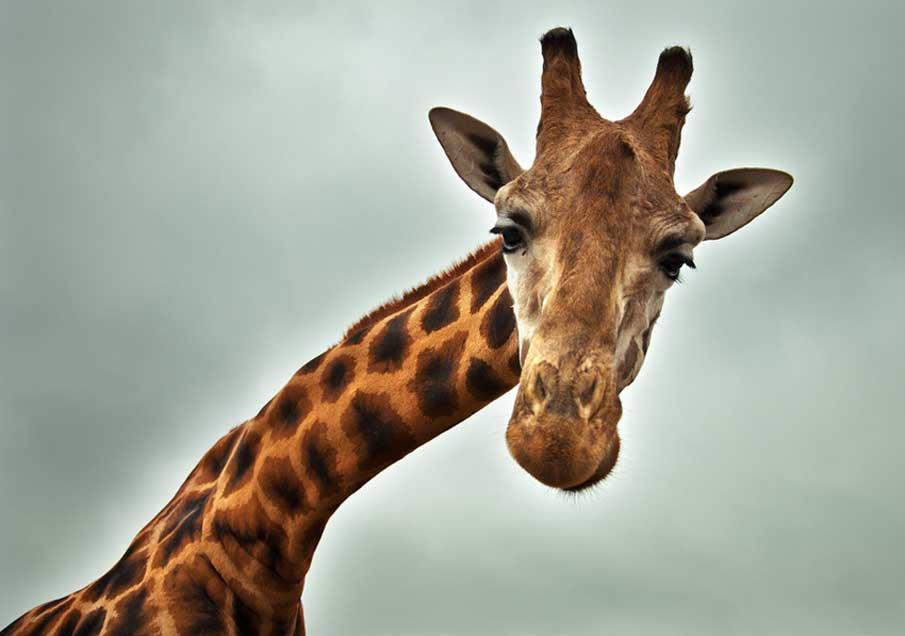Прикольные картинки на аву жирафа, афоризмы картинках про