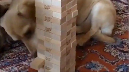 [VIDÉO] Ce #chien est meilleur que vous au Jenga #video #insolite #animaux https://t.co/zCqPpdk1Kk