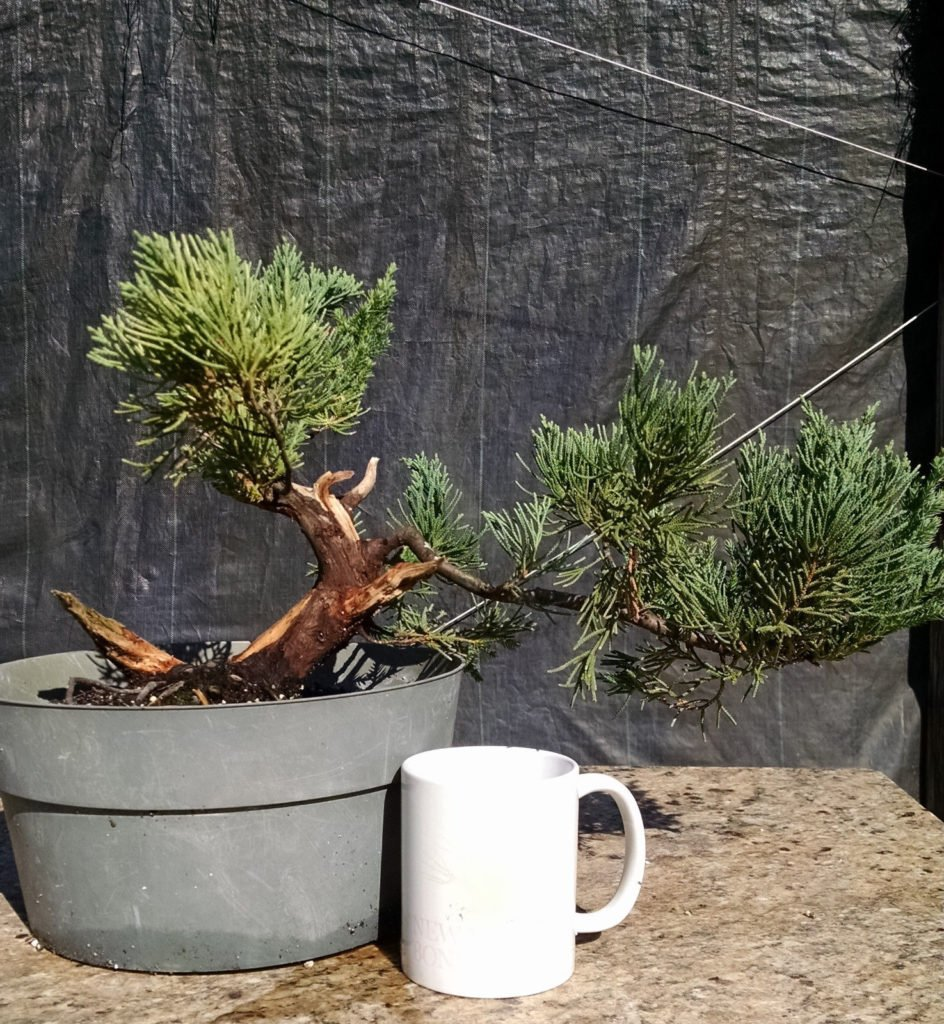 Wikibonsai Com On Twitter Bonsai Tree Parsoni Juniper Awesome Prebonsai A Nebari Nice Shari And Jins Https T Co Dyukxakytt Juniperusbrevifolia Juniperusphoenicea Https T Co Dgdwnrynfx