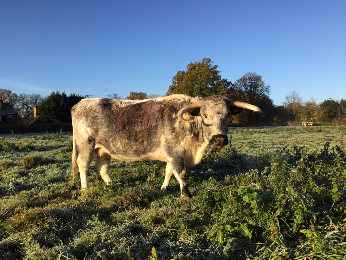 Meet Jezebel! Another of our lovely lady #Longhorns - founding member of our new #beef herd here at Loseley. Our herd will be grass-fed on the estate where we use low-input farming. #naturalgrazing #exceptionalbeef #highinomega3 #rarebreed #farmshop