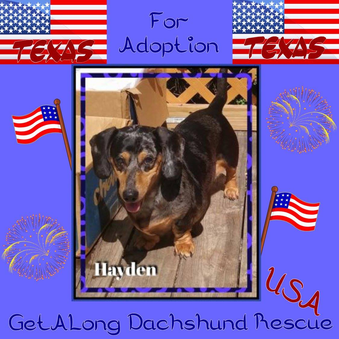 Handsome 13yo standard dapple HAYDEN is blind but copes very well in a consistent evironment. He will follow your voice and tapping sounds on the walls/floors. He just loves EVERYONE. This little guy is going to bring huge joy to someone&#39;s heart. #USA ONLY @GetalongDRescue<br>http://pic.twitter.com/XcQkbOzDh3
